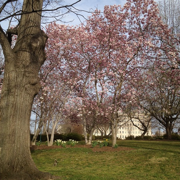 Great weather week ahead for DC and Capitol Hill. Senate Parks in bloom.