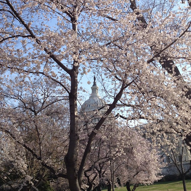 Cherry Blossoms in Bloom at Capitol