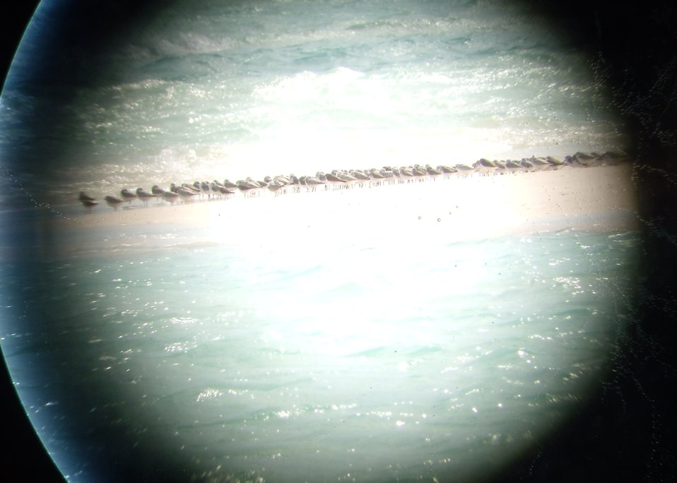 Mixed shorebird flock
