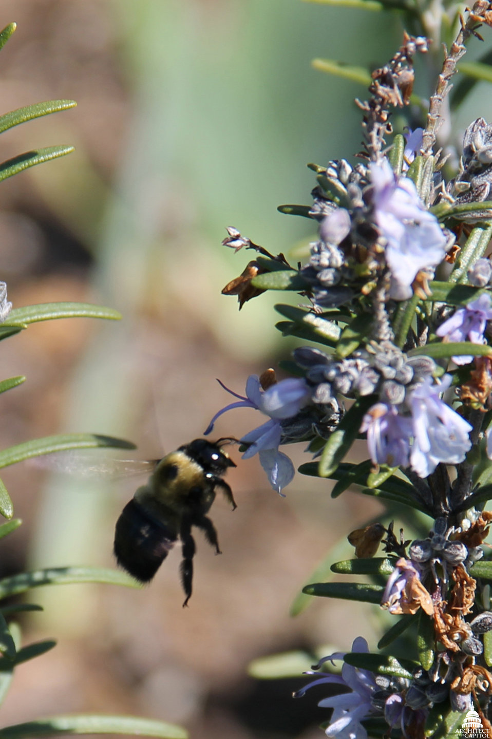 Bumblebee Flying to Lavender