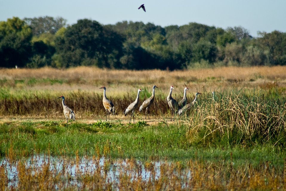Sandhill cranes at Stone Lakes NWR