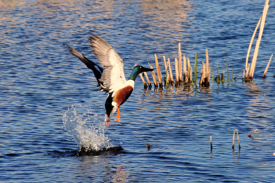 Northern shoveler taking flight Sand Lake National Wildlife Refuge