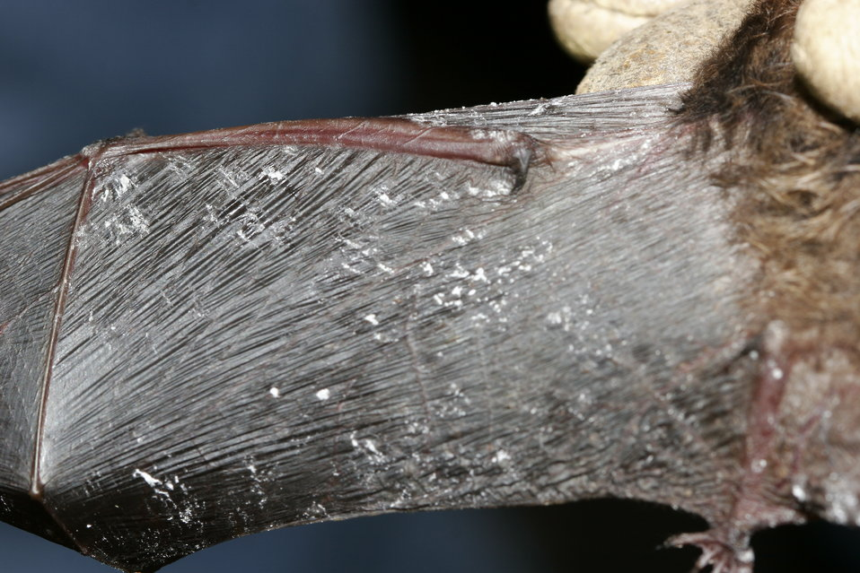 Little brown bat; Fungus on wing membrane, Oct. 2008, New York