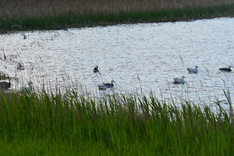 Snow Geese in Sand Lake