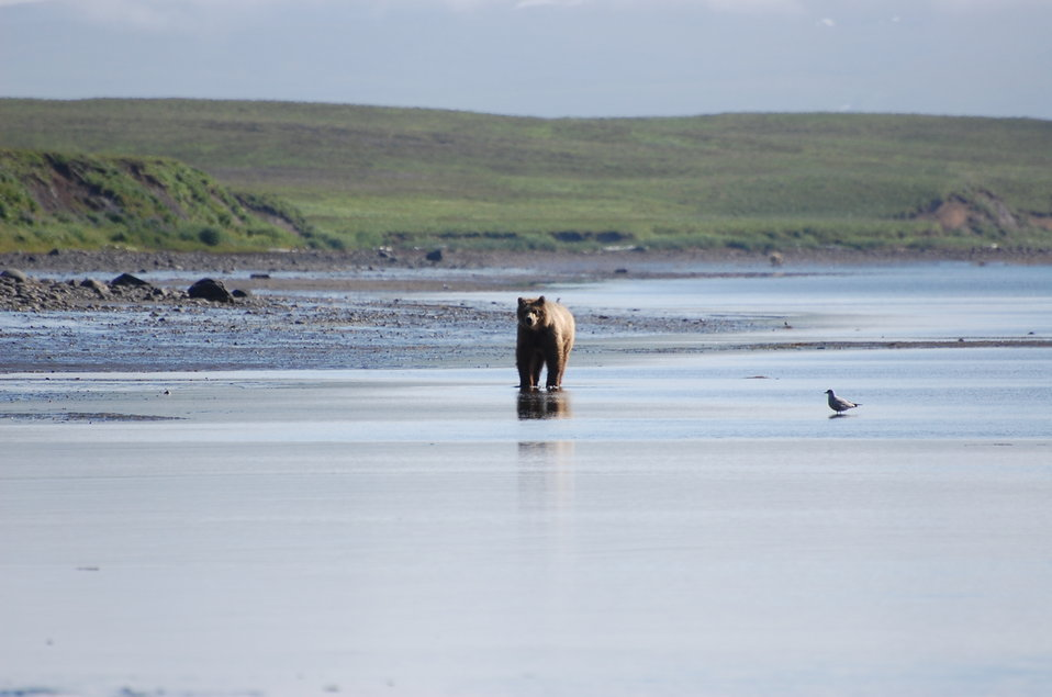 Brown bear in Kinzarof Lagoon