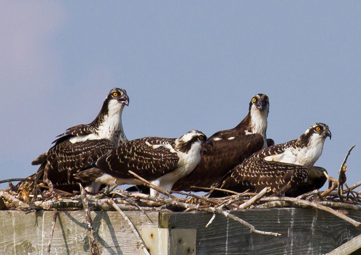 Osprey huddle