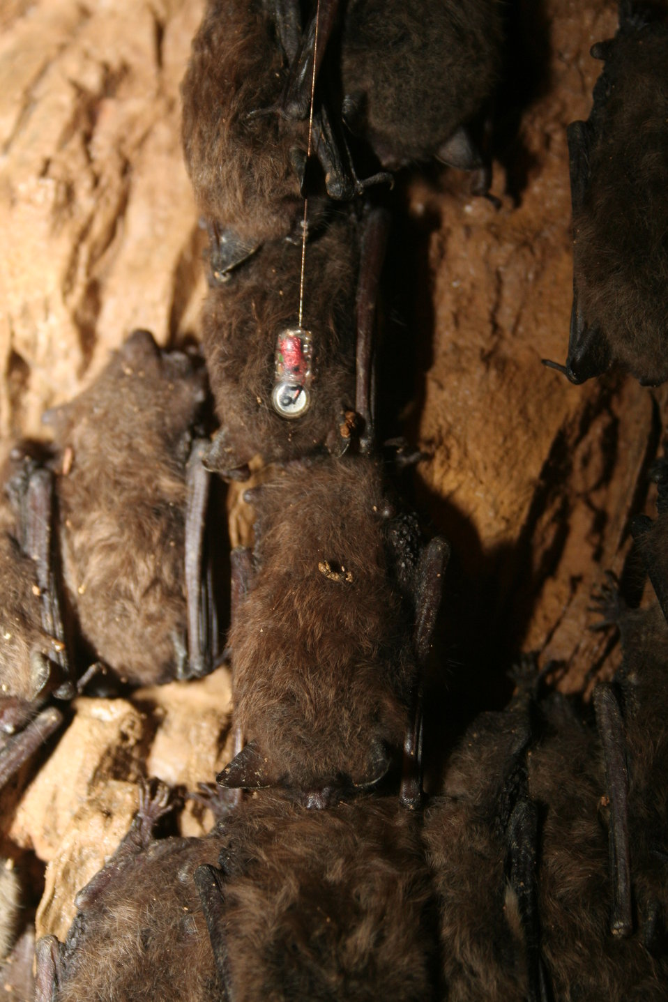 Single hibernating bat at Shindle Iron Mine, Pennsylvania, with attached temperature-sensitive radio transmitter