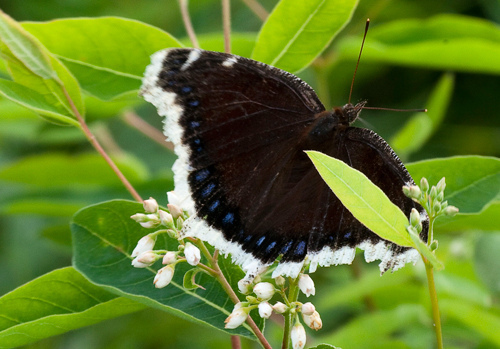 Mourning Cloak on Indian Hemp