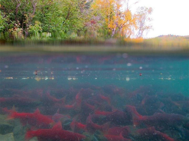 Sockeye salmon schooling in Hidden Lake