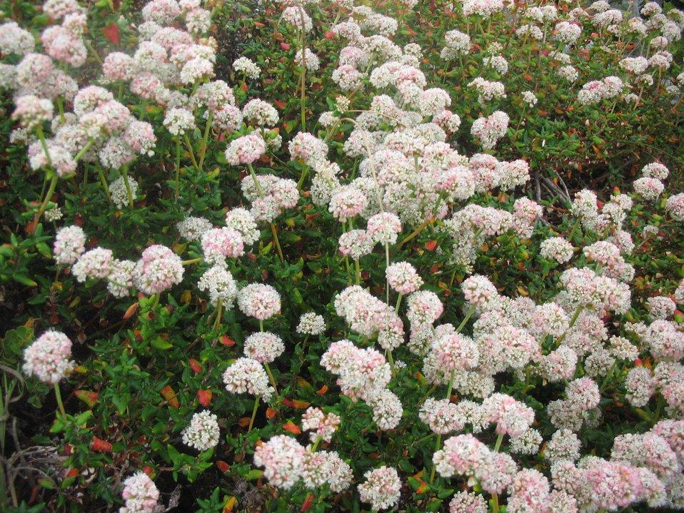 Dune buckwheat flowers (Eriogonum parvifolium)