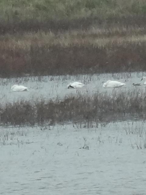 Trumpeter Swans on Marais des Cygnes State Area, Kansas