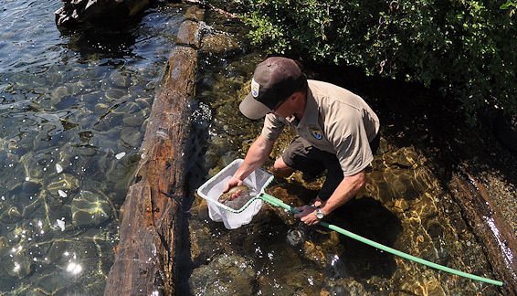 Releasing a Lahontan cuttroat trout in Fallen Leaf Lake