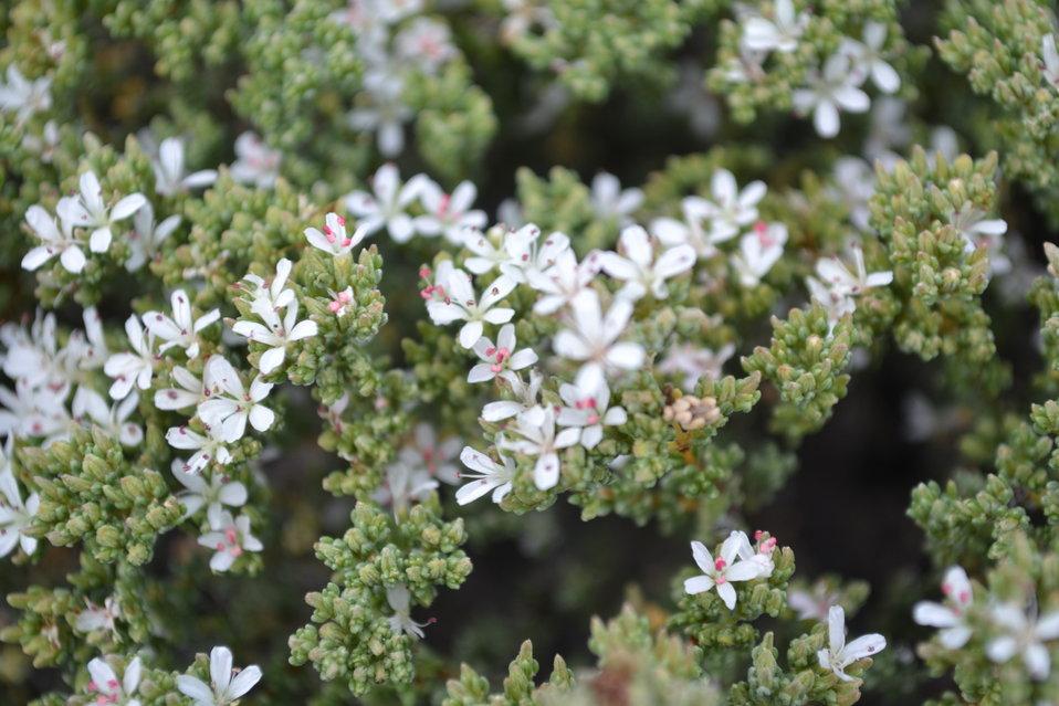Palmer's Frankenia (Frankenia palmerii) closeup