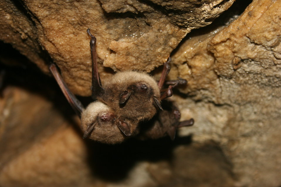 Healthy little brown bats