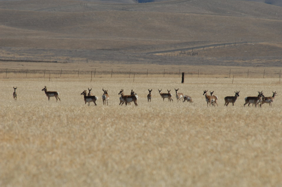 Pronged Horned Antelope on the CarrizoPlain
