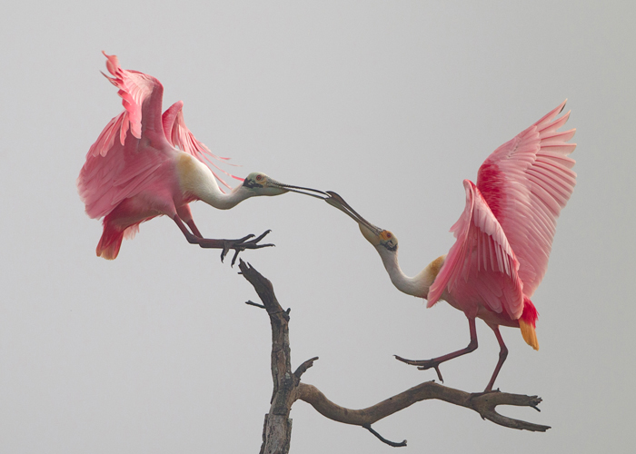 roseate spoonbill courtship dance