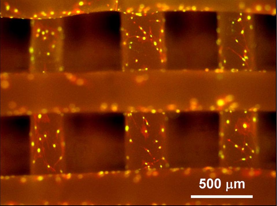 Fluorescense Micrographs