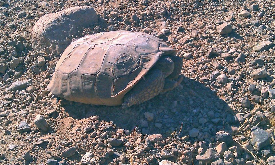 Desert Tortoise1