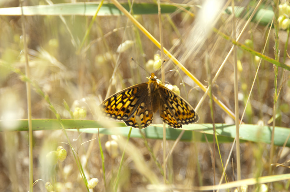 Callippe Silverspot Butterfly 2