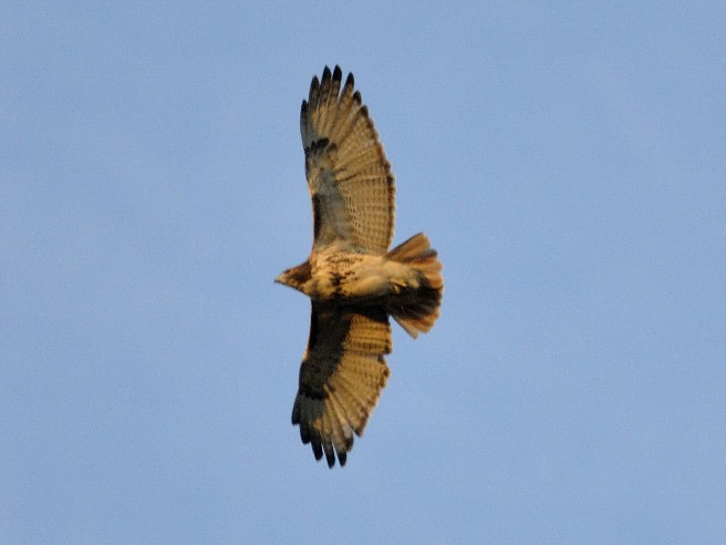 Photo of the Week - Red-tailed Hawk (MA)