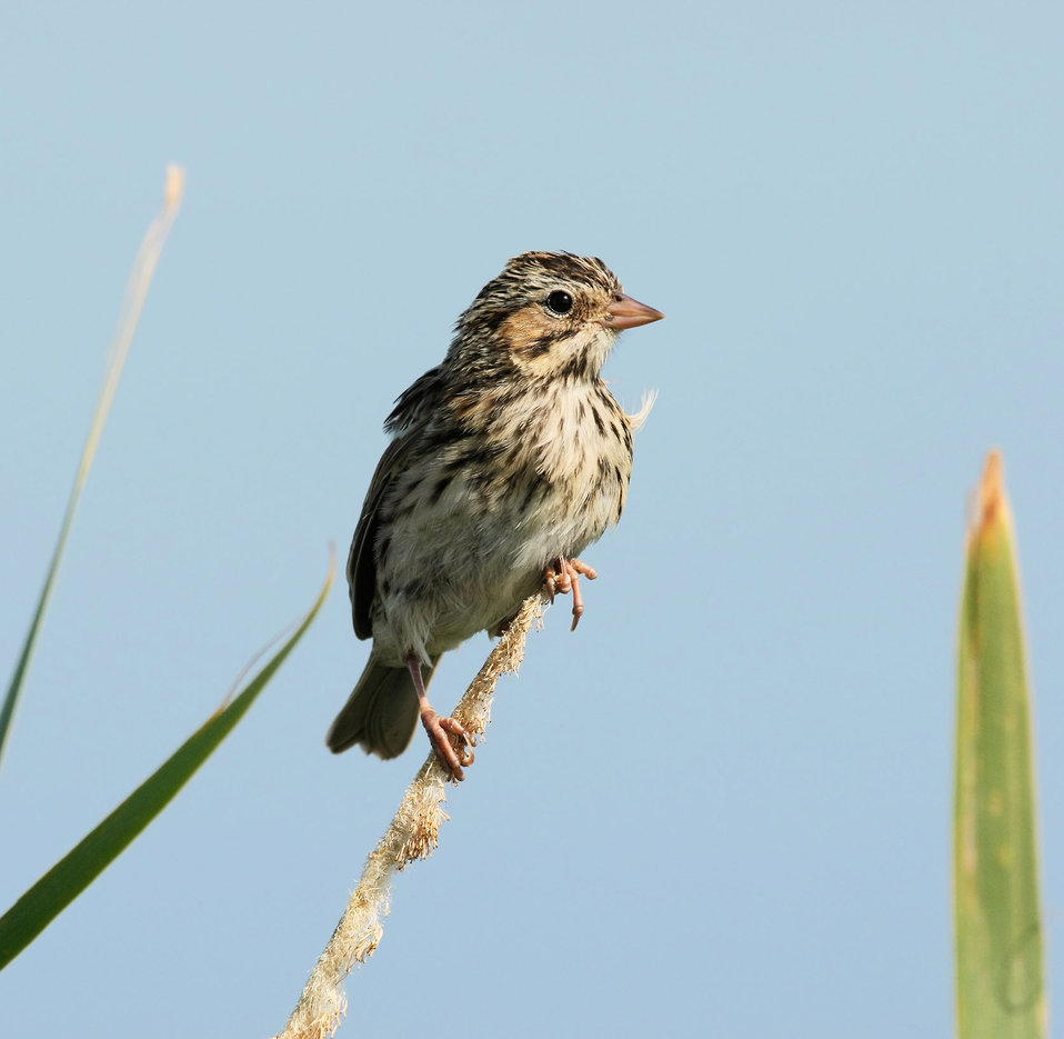 Sparrow Perched on Marsh Grass