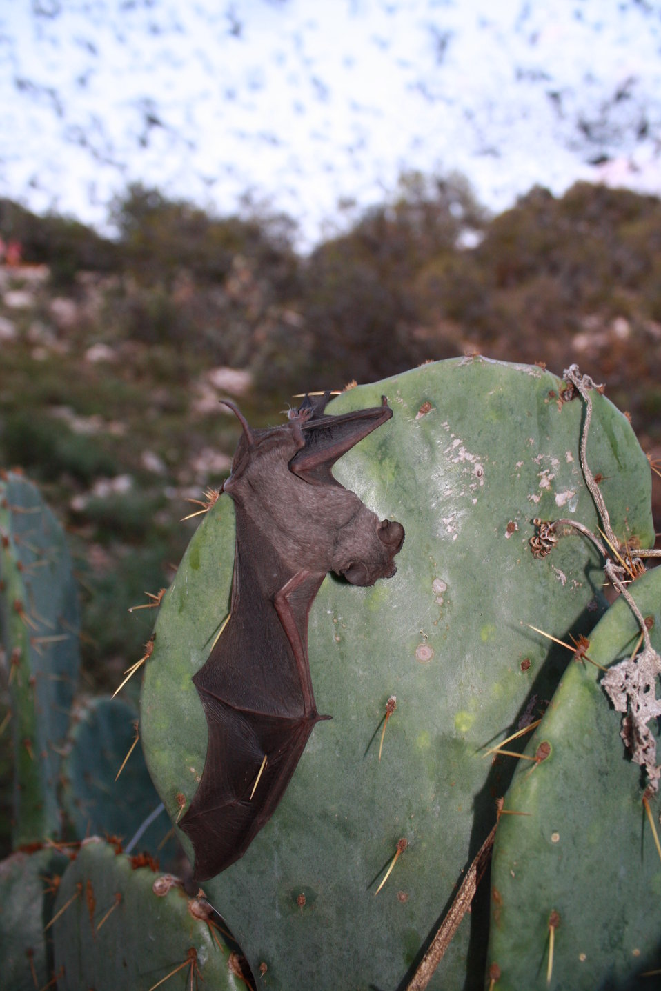 Mexican free-tailed bat on cactus