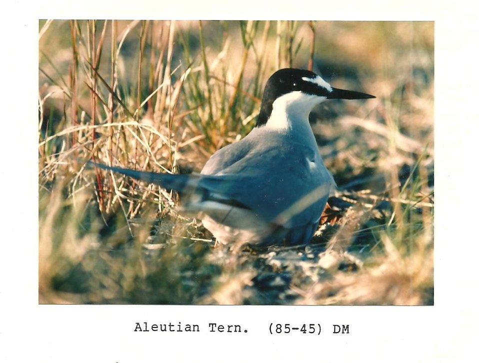 (1985) Aleutian Tern