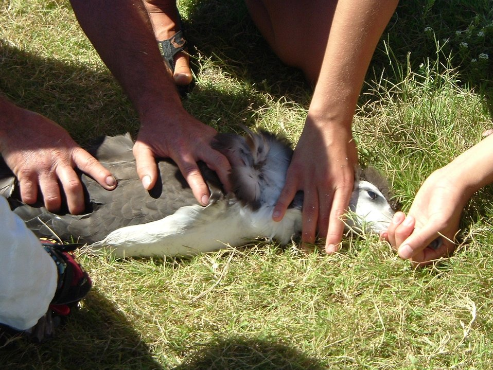 Banding albatross on Kure.