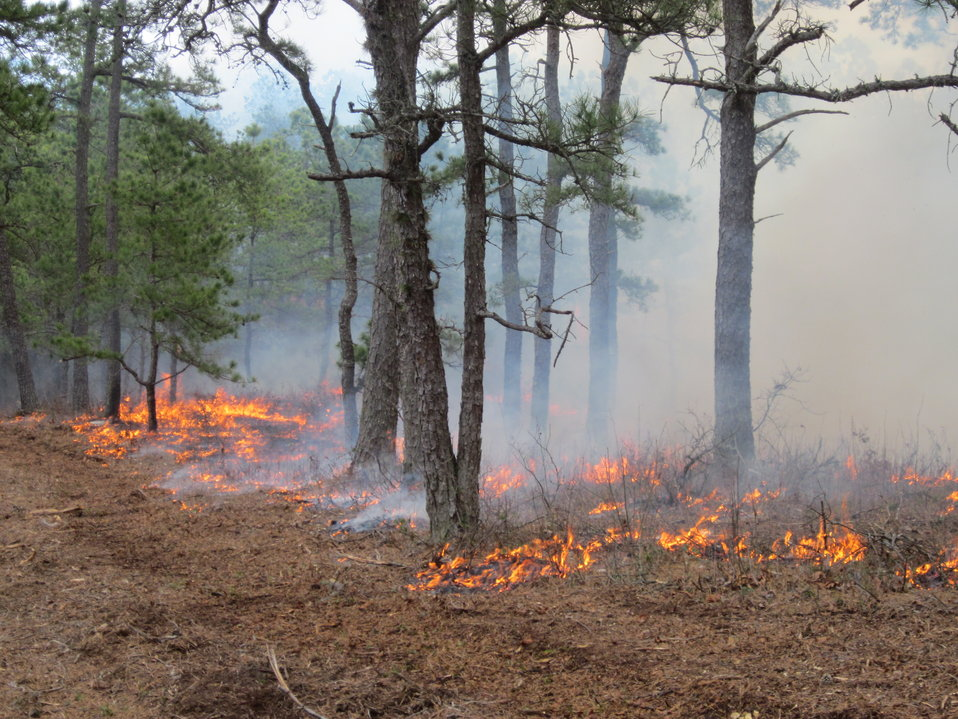 Fire Maintains Pitch Pine Habitats