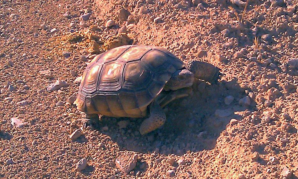 Desert Tortoise5