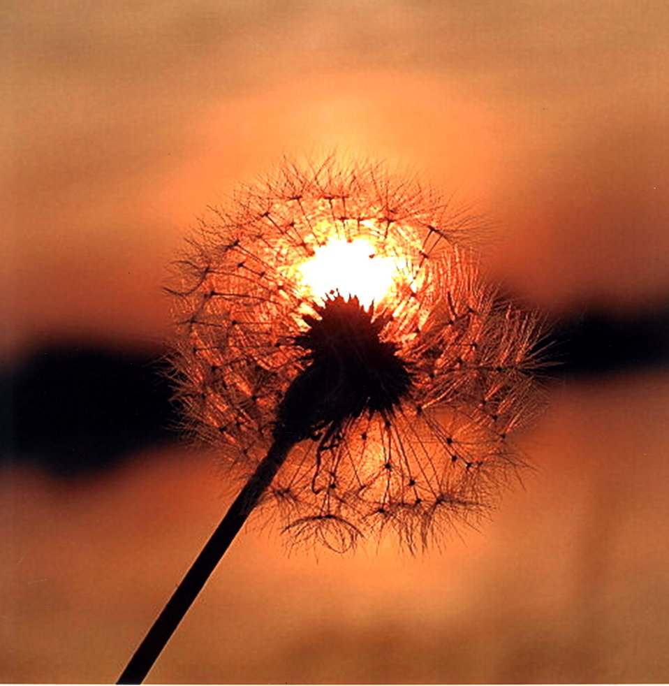 Mekayla Kelly, Age 14, Dandelion in Sunset