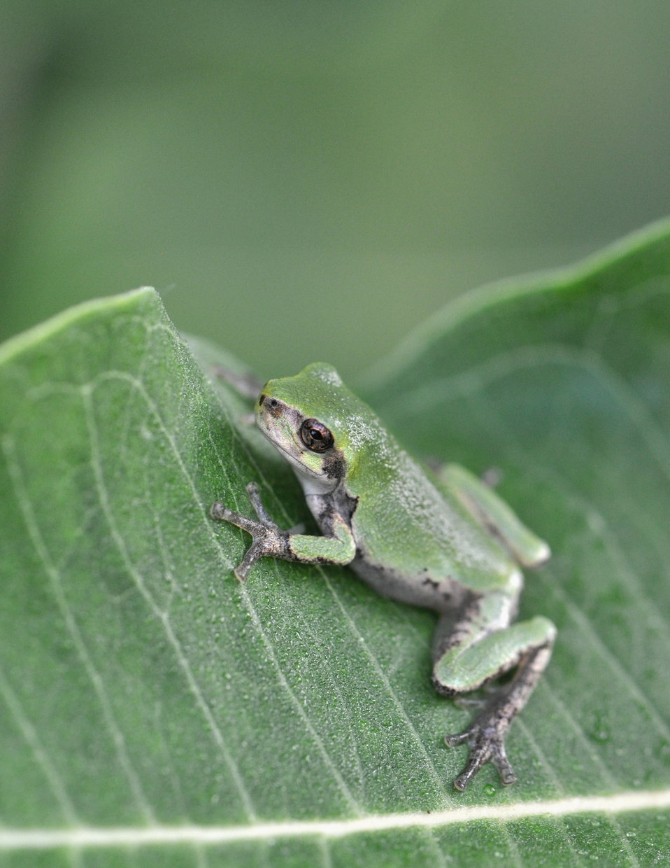 Eastern Gray Treefrog at Horicon National Wildlife Refuge