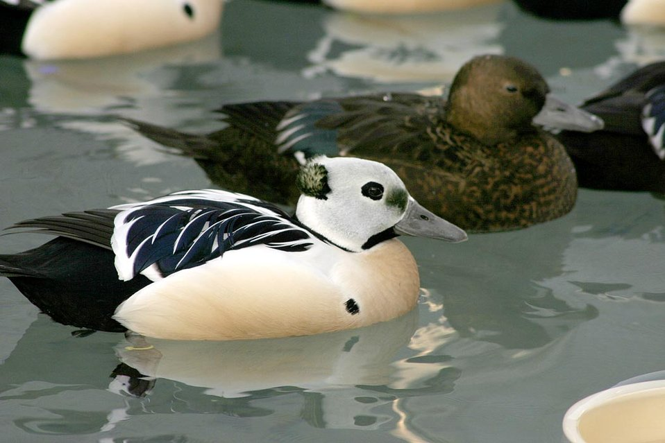 Threatened Steller's eider (Polysticta stelleri) male and female, Alaska SeaLife Center, Seward, Alaska