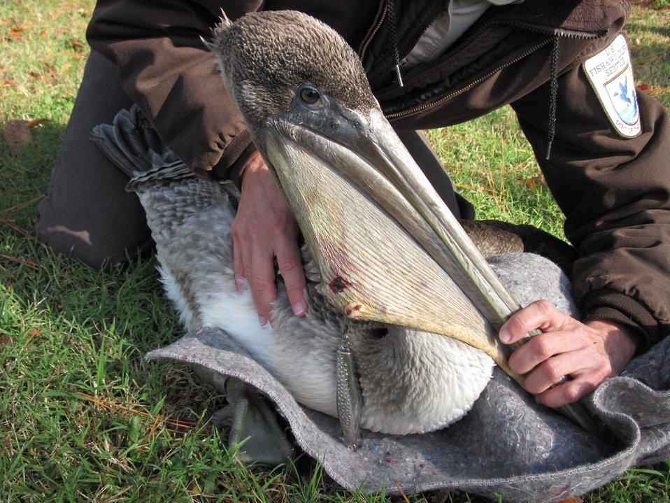 Brown pelican and sinker