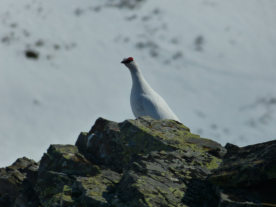 Rock Ptarmigan 5-15-2013 KSowl (1)