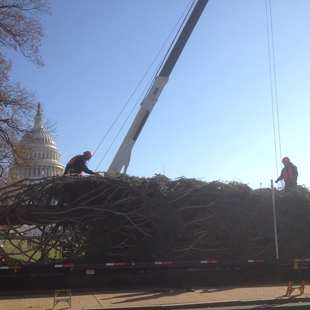 AOC arborists prepare to lift 65 ft Capitol Christmas tree.