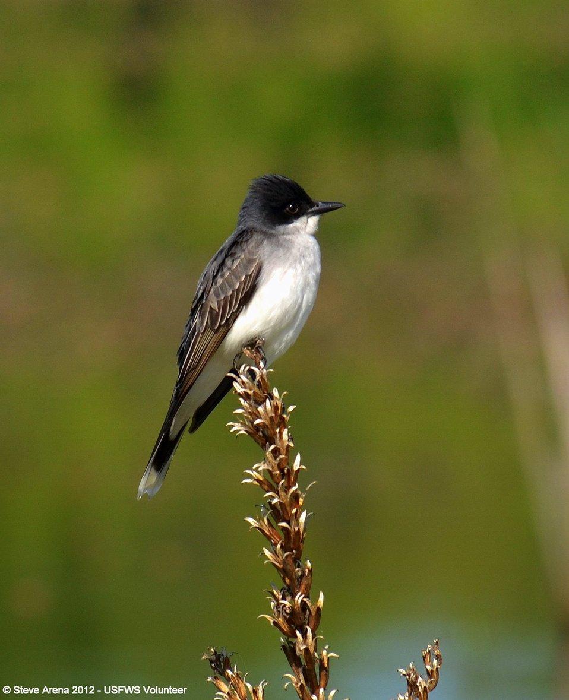 Eastern Kingbird (Tyrannus tyrannus) Great Meadows NWR, Concord, MA