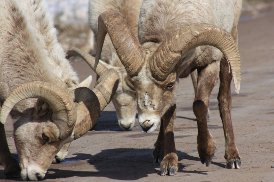 Bighorn Sheep Scarring