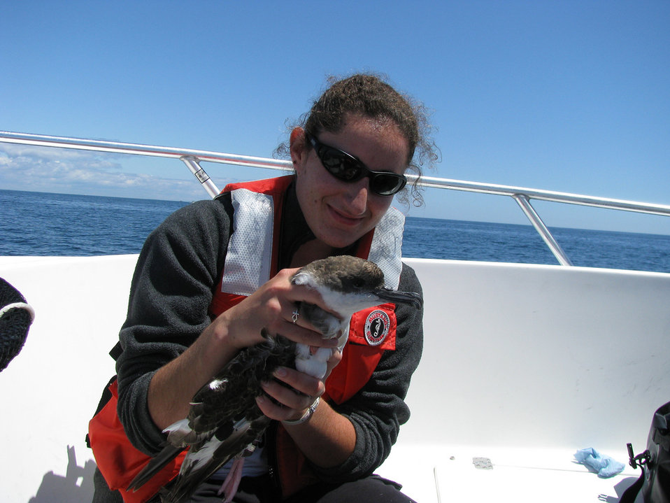 Tagging greater shearwater