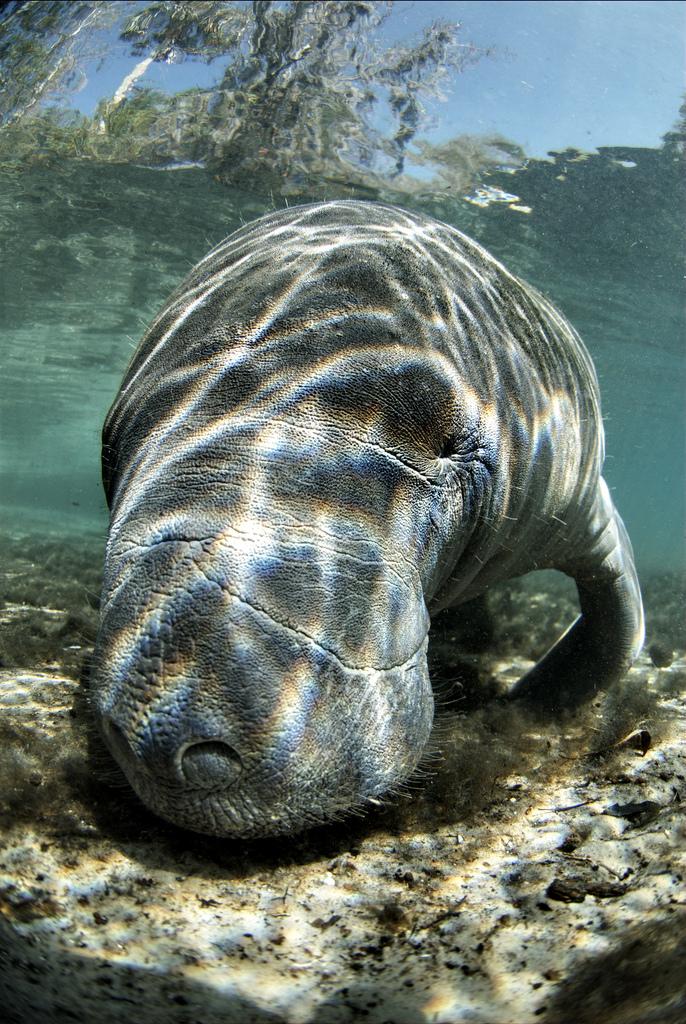 Endangered Florida manatee (Trichechus manatus)