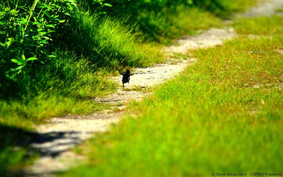 Virginia Rail (Rallus limicola) - newborn chick - running/hopping along