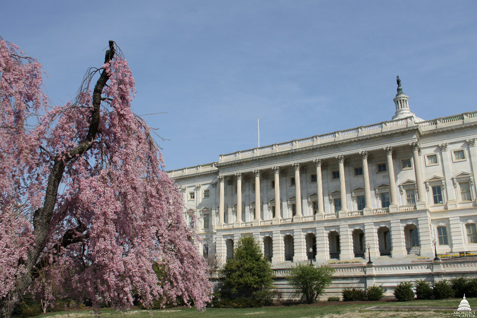 Weeping Cherry Tree In Bloom Near Capitol South Door
