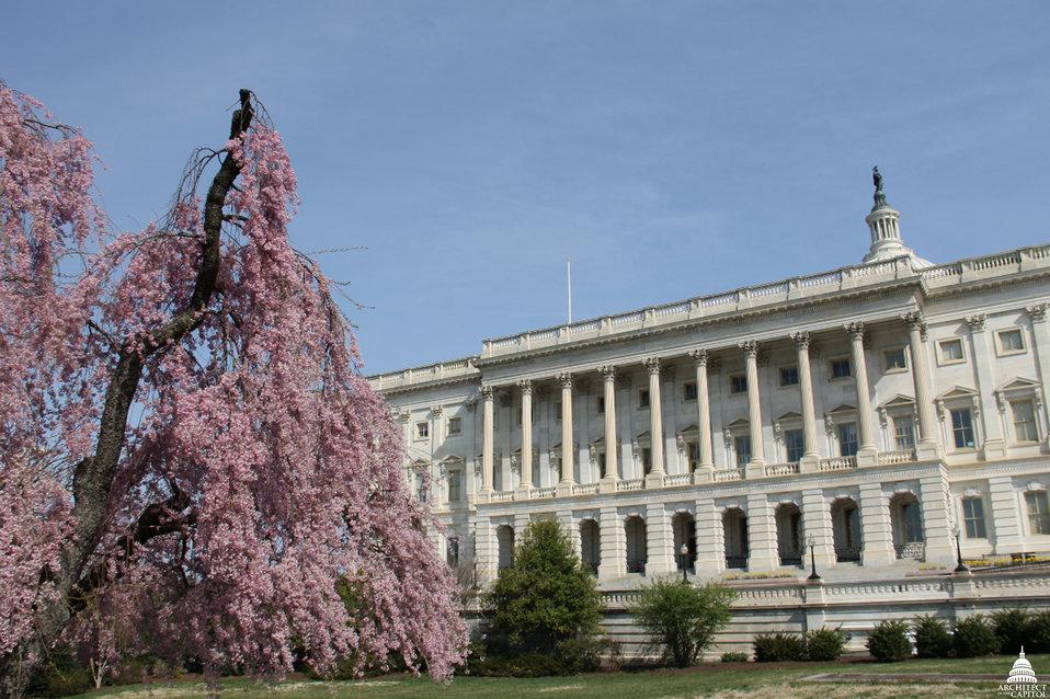 Weeping Cherry Tree In Bloom Near Capitol South Door