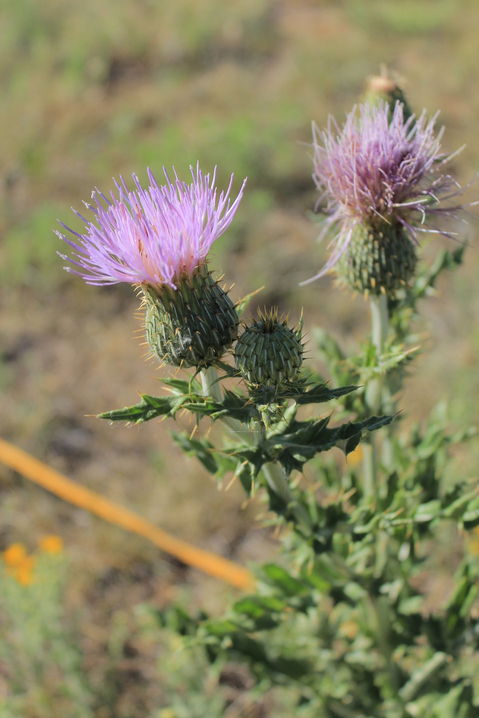 Wavyleaf Thistle