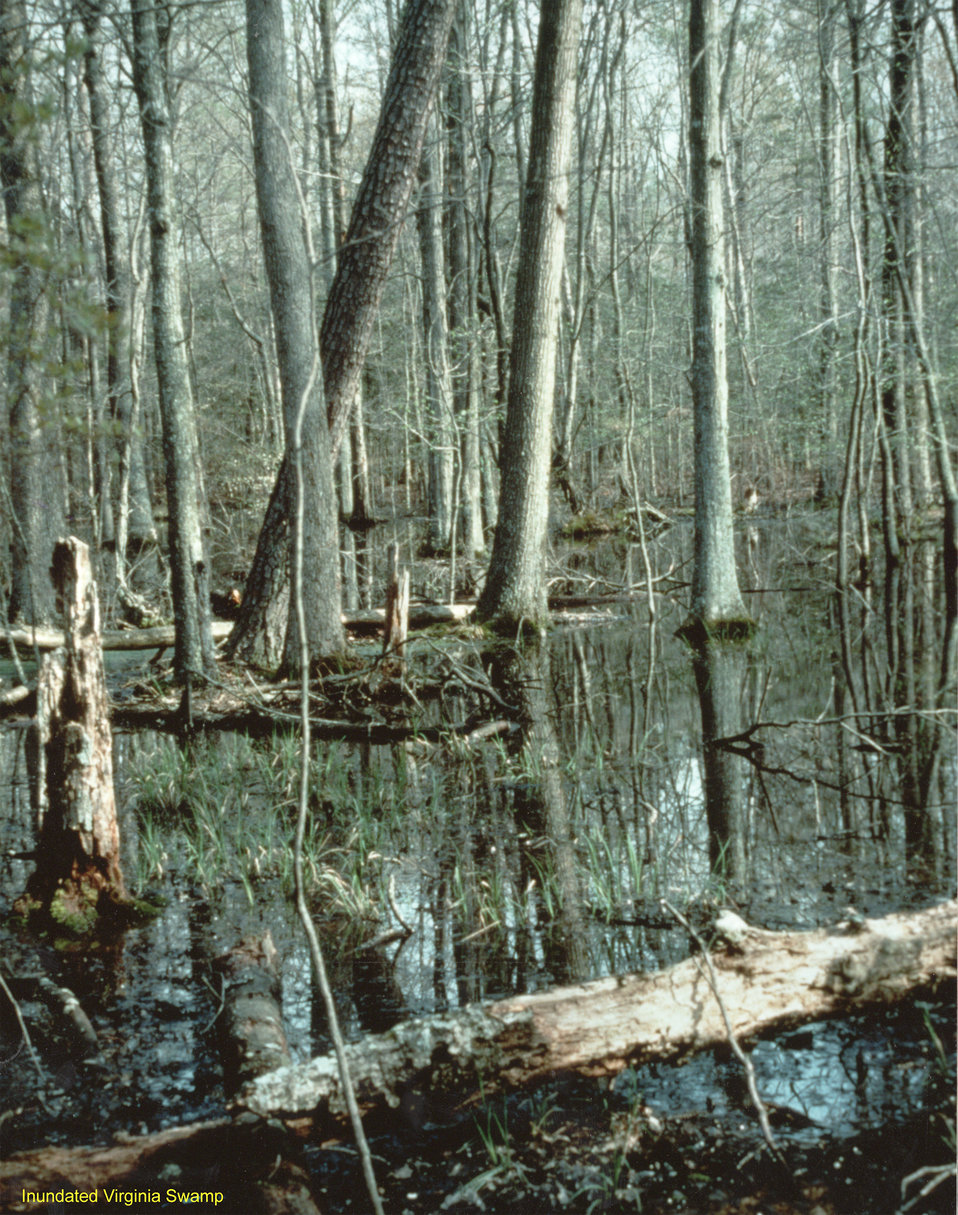 Inundated Virginia Swamp