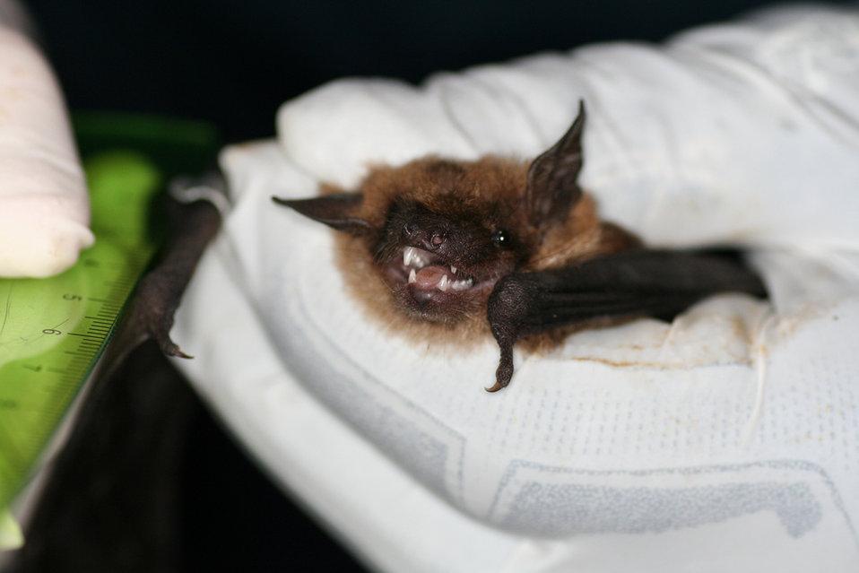 Measuring Big Brown Bat