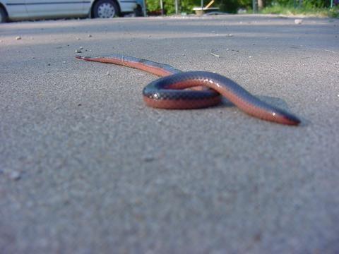Wormsnake