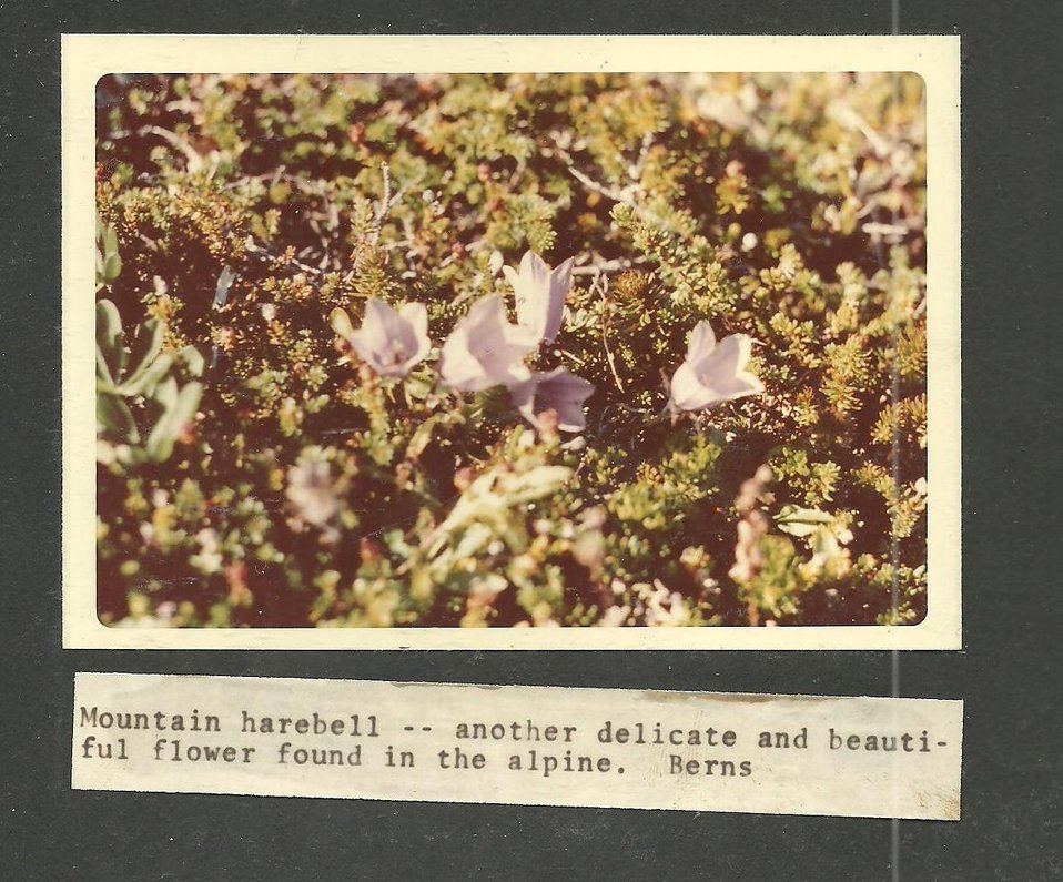 (1970) Mountain Harebell