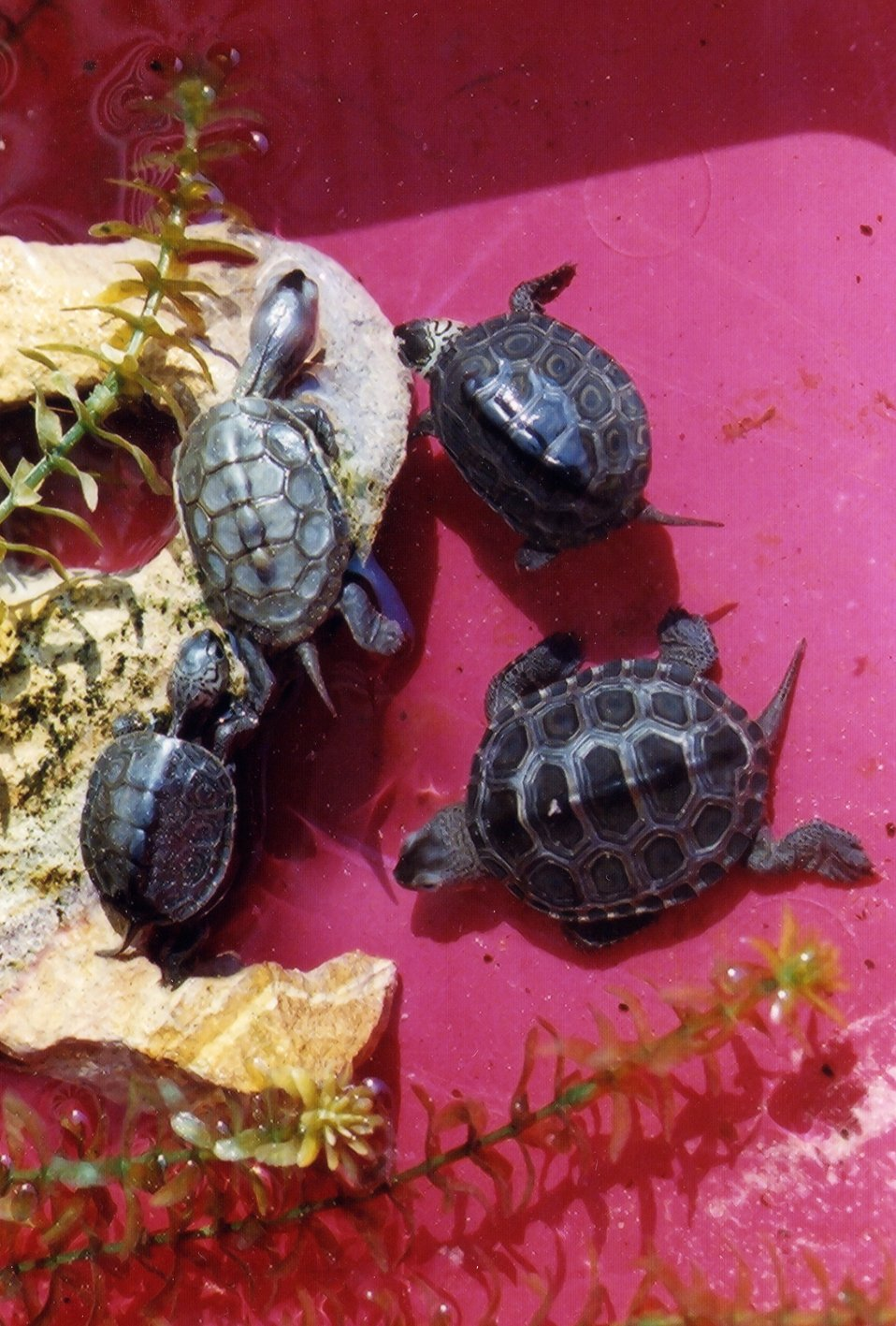 Baby terrapins from the same year class having various sizes, shapes, and markings.