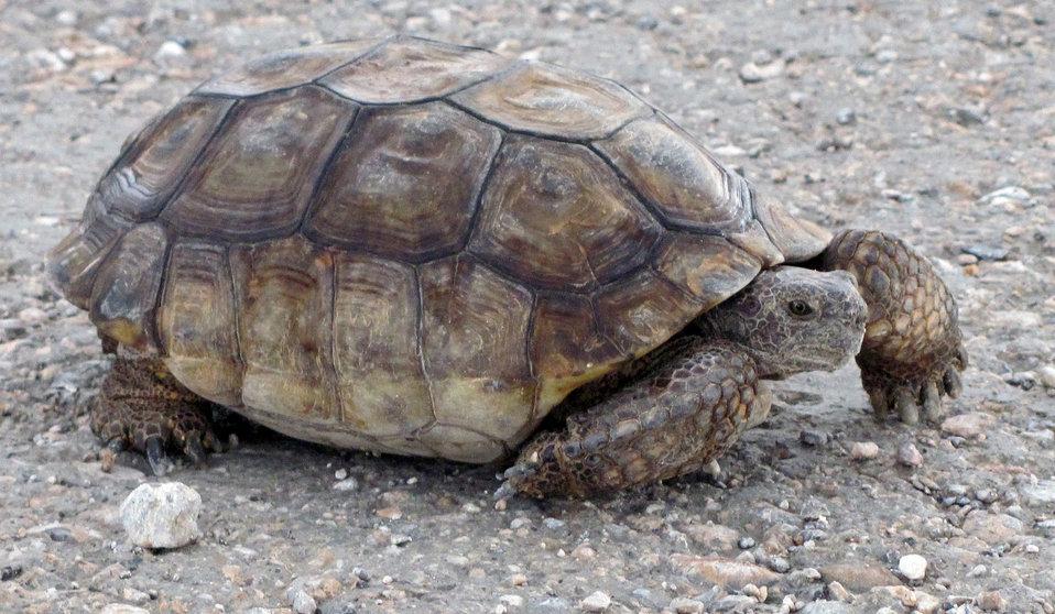 Desert Tortoise6
